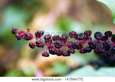 Bunch of ripe dark berries plant phytolacca on a blurred background