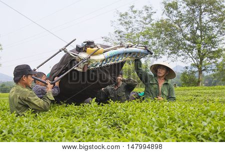 Phu Tho, Vietnam - Sep 16, 2016: Asian tea farmers carrying packages of tea from the hill to the tea factory. Tea is one of the most important product of Vietnamese agriculture industry.