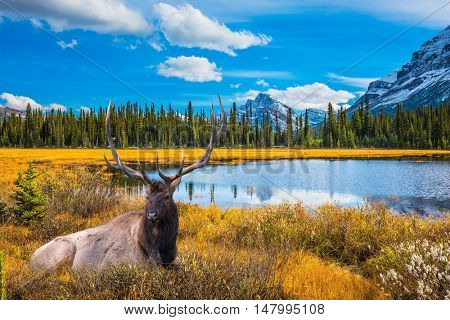 Red deer with branched antlers resting in the grass.  Beautiful nature of the Rocky Mountains of Canada