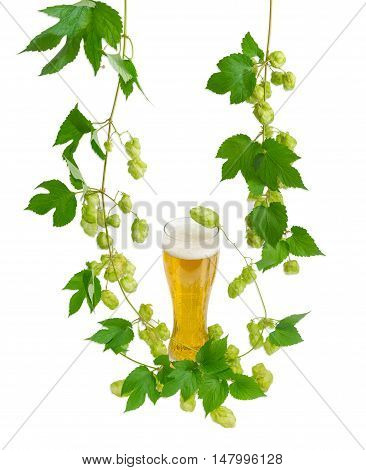 One beer glass with lager beer and hanging branches of hops with leaves and strobiles on a light background