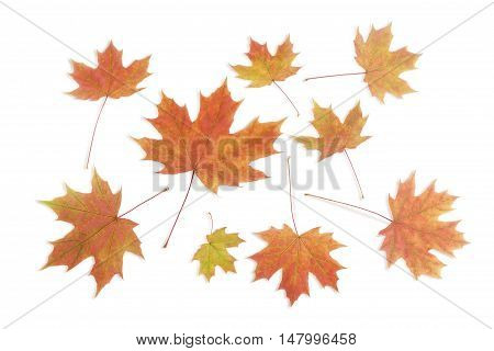 Autumn varicolored leaves of maple different sizes on a light background