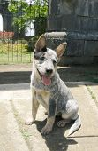 stock photo of blue heeler  - Pure breed australian blue heeler puppy sitting down - JPG