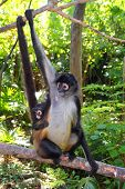 picture of baby spider  - Ateles geoffroyi vellerosus Spider Monkey Central America mother and baby - JPG