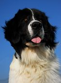 pic of newfoundland puppy  - portrait of purebred mountain dog landseer in blue sky - JPG