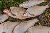 Постер, плакат: Pile Of The Common Bream Fish Crucian Fish Roach Fish Bleak Fish On The Natural Background