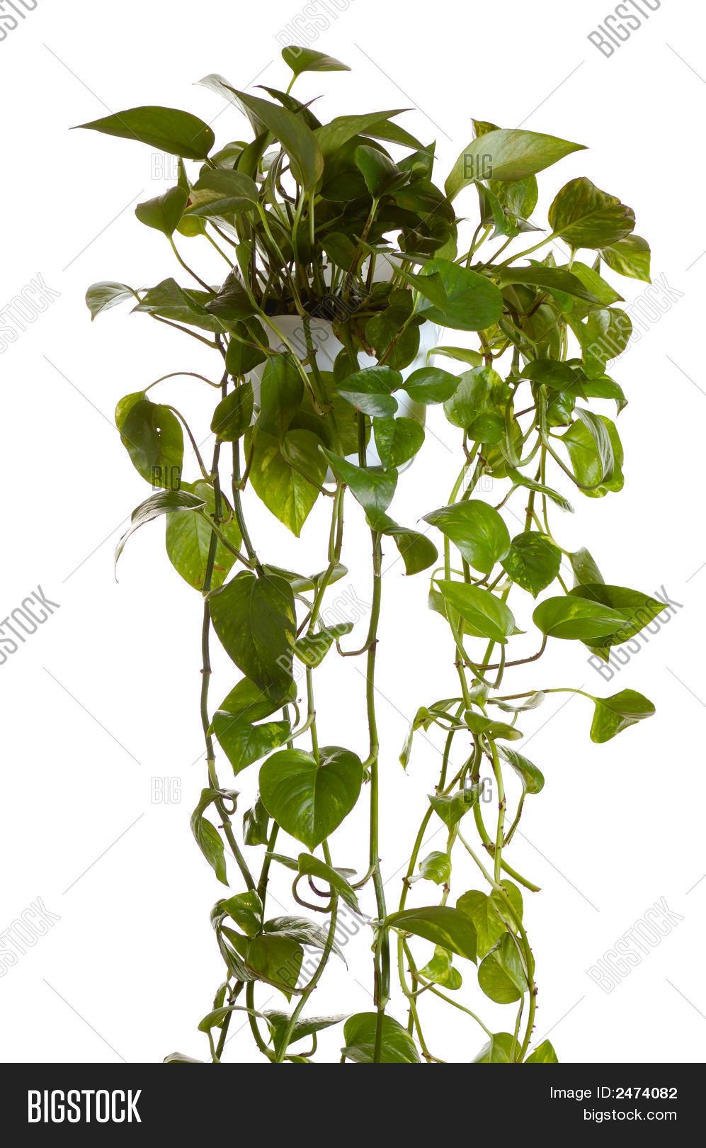 Домашний цветок лиана фото