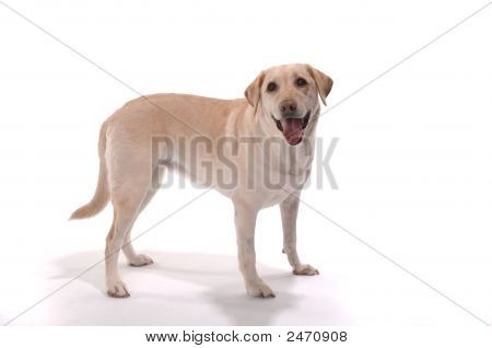 Yellow Lab Stand Whitessmile