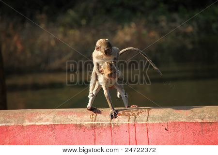 Crab-eating Monkey In Wild Forest Park