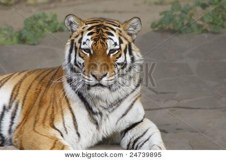 Siberian (amur) Tiger
