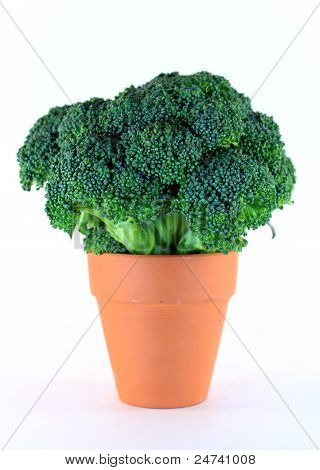 Broccoli in Flower Pot