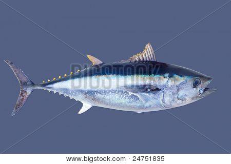 Thun Thunnus Thynnus Meeresfisch auf grau isoliert