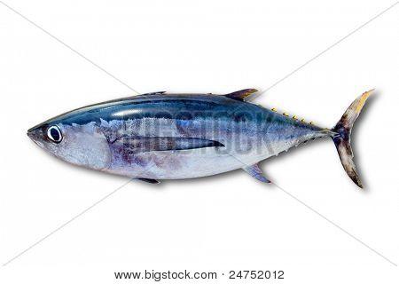 Atum voador Thunnus alalunga peixe isolado no branco