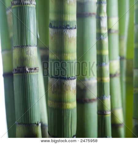Close Up Of Bamboo Stems