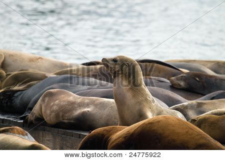 Sea Lions Sunning On Barge At Pier 39 San Francisco