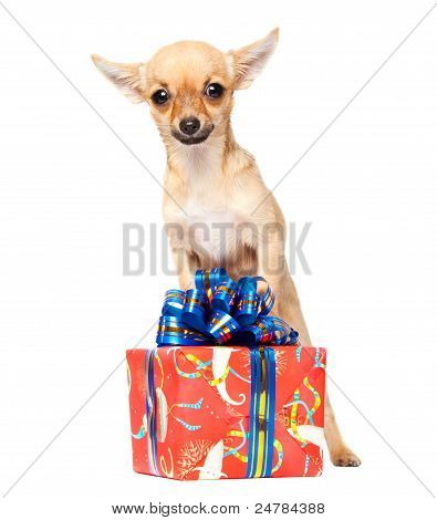 Young Chihuahua Puppy With Christmas Giftbox