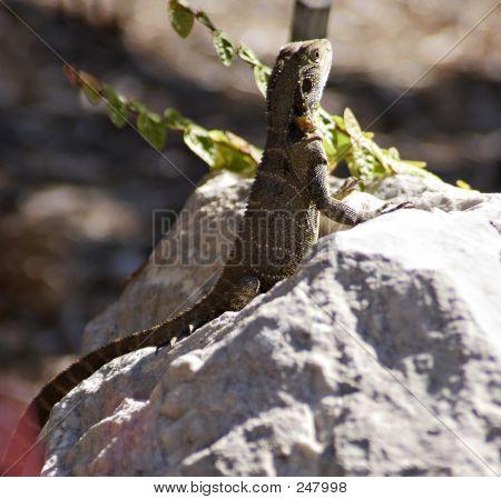 Lizard Sunning Itself
