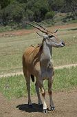 stock photo of eland  - the eland has a long set of horns - JPG