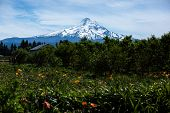 View Of Mt Hood From A Cherry Orchard poster