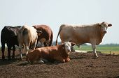 picture of feedlot  - A group of cows wait to be slaughtered and eaten as hamburgers - JPG