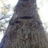 Tree Bark ,birch Bark Texture Natural Background Paper Close-up / Birch Tree Wood Texture / Birch Tr poster