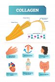 Vector Illustration About Collagen. Metabolism And Cardiovascular Health Diagram. Medical Scheme Wit poster