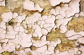 Peeling Paint Of Light Brown Color On The Wooden Texture Surface. Texture Background Of Peeling Pain poster