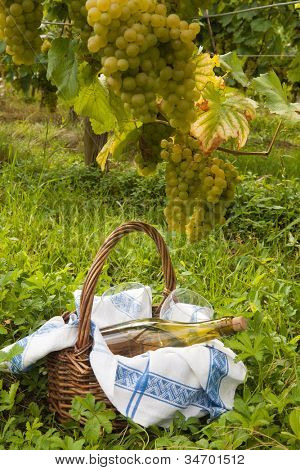 Picnic basket in a vineyard in Alsace france under grapes used for the famous pinot blanc wine