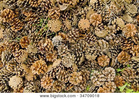 Canadian Pine Cones Background