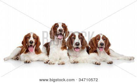 Welsh Springer Spaniel Hunde