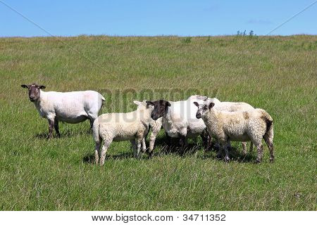 Sheared Sheep With Lambs On A Dike
