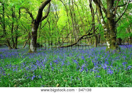 El bosque de antigua Bluebell
