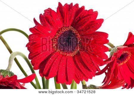 Red Gerbera Flower Front View Close Up