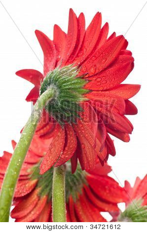 Red Gerbera Flower Viewed From The Back Close Up