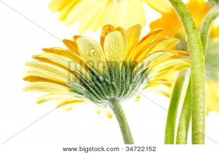 Yellow Gerbera Flower Extreme Close Up
