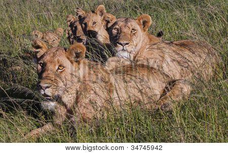 Portrait of Lion Family