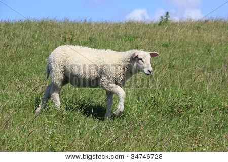 A Lamb Runs On A Dike On The Island Of Sylt