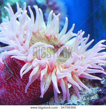 Painted Anemone (Urticina crassicornis)