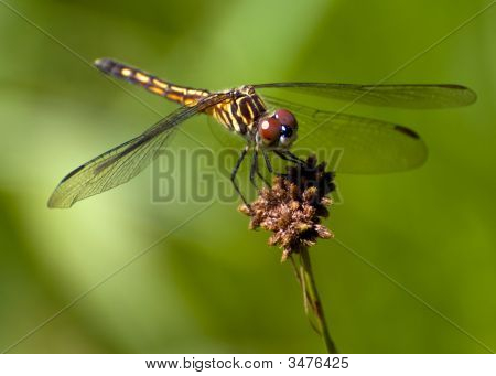 Female Blue Dasher (Pachydiplax Longipennis)
