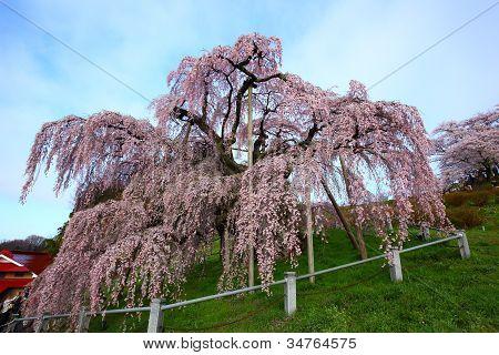 Cherry Trees In Full Blossom