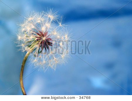 A Dandelion Against The Blue Background