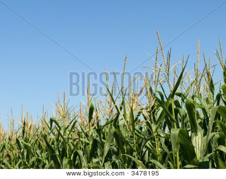 Corn Field At Summer