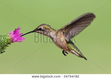 Juvenile Ruby-throated Hummingbird