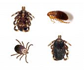 stock photo of flea  - Several views of ticks and a flea isolated over a white background - JPG