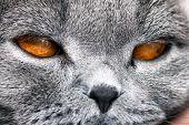 Cat Lilac Coloured Adult Scottish Fold Orange Eyes And Forward-folded Ears poster