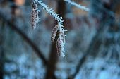 Branch Covered In Ice Cold White Frost In The Winter. First Frosts, Cold Weather, Frozen Water, Fros poster