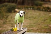 Beautiful Dalmatian Dog In Beautiful Knitted Clothes For Green Dogs On A Walk In The Park In The Spr poster