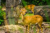 Female Elds Deer In Closeup, Endangered Animal Specie From South Asia poster