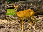 Female Elds Deer Looking In The Camera In Closeup, Endangered Animal Specie From Asia poster