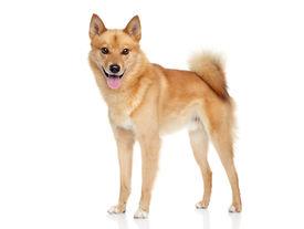 picture of laika  - Finnish spitz dog  - JPG