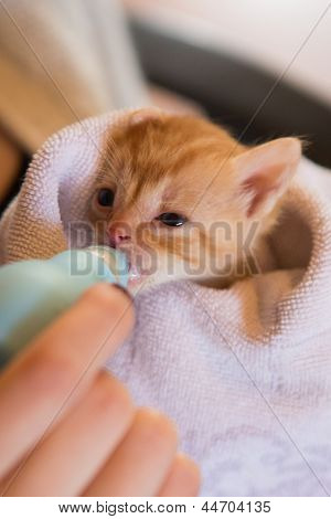 Tiny Red Kitten Being Handfed